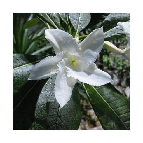 Pachypodium lamerei - Madagaszkári gumólábfa - 5db mag/csomag