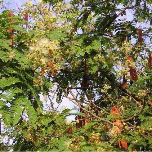 Albizia odoratissima - Ceyloni rózsafa - 5db mag/csomag