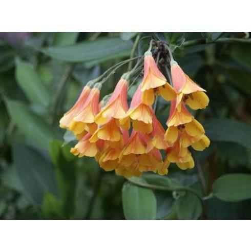 Bomarea multiflora - 5db mag/csomag