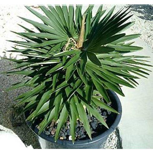 Coccothrinax borhidiana - Guano pálma - 5db mag/csomag