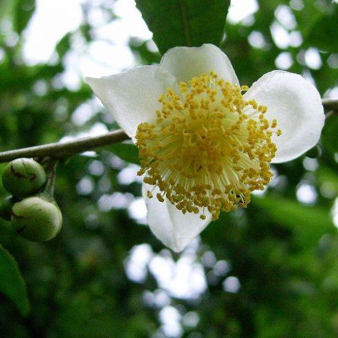 Camellia sinensis - Kínai teacserje - 5db mag/csomag
