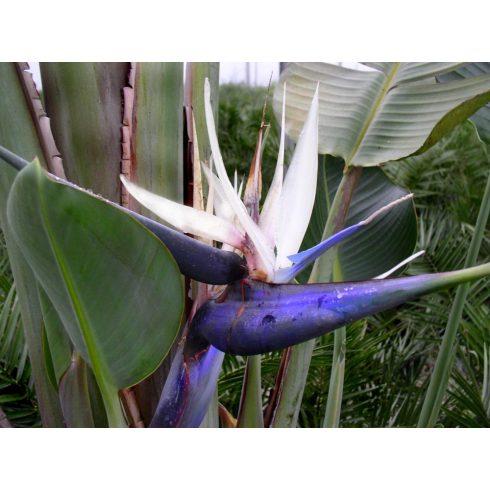 Strelitzia nicolai - Kék papagájvirág - 5db mag/csomag