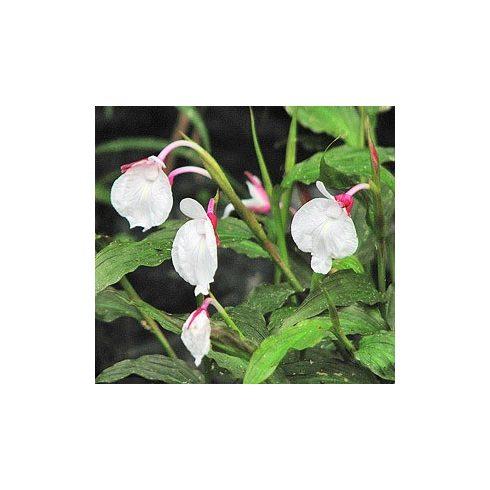 Caulokaempferia sikkimensis – Gyömbér orchidea - 5db mag/csomag