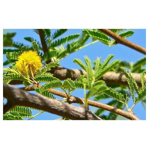Acacia tortilis - Ernyős akácia - 5db mag/csomag