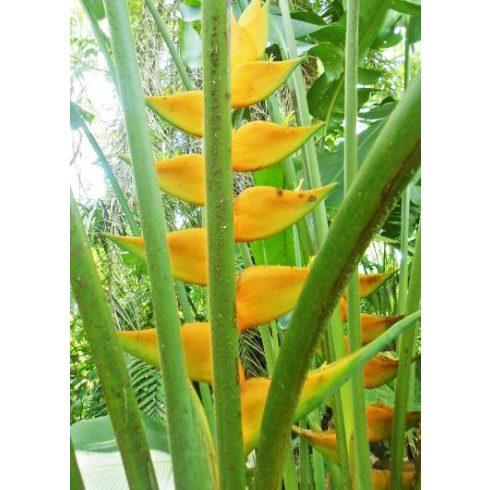 Heliconia champneiana - 5db mag/csomag