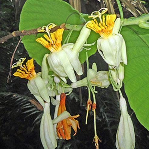 Passiflora macrophylla - 5db mag/csomag