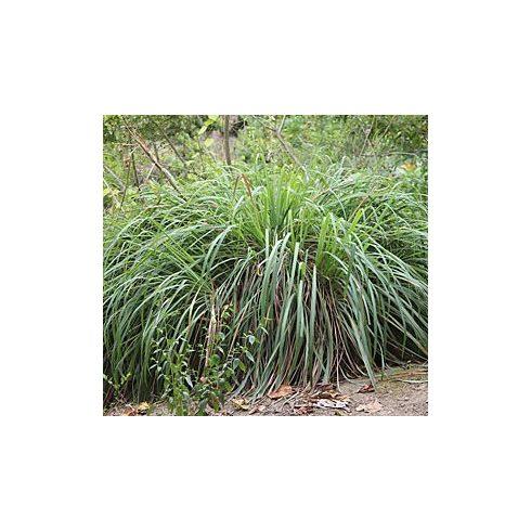 Cymbopogon winterianus - Citromfű - 5db mag/csomag