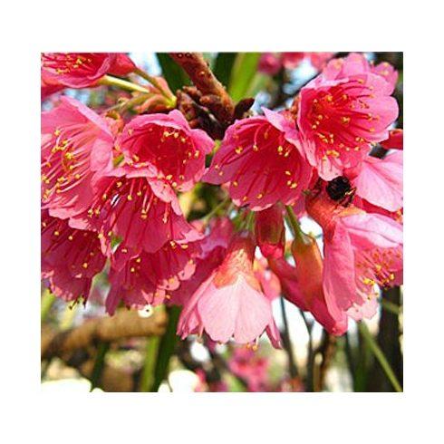 Cerasus campanulata - Csengettyűs vadcseresznye - 5db mag/csomag