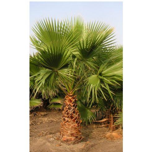 Washingtonia robusta - Mexikói legyezőpálma - 5db mag/csomag