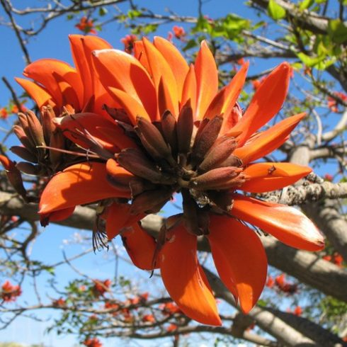 Erythrina caffra - Kaffer Korallfa - 5db mag/csomag