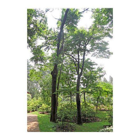 Toona sinensis – Kínai túnafa, Kínai cédrus - 5db mag/csomag