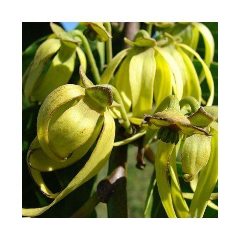 Cananga odorata - Ylang-ylang- 5db mag/csomag