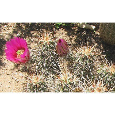 Echinocereus engelmannii - Szamóca töviskaktusz - 5db mag/csomag