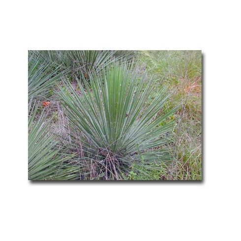 Yucca constricta - 5db mag/csomag