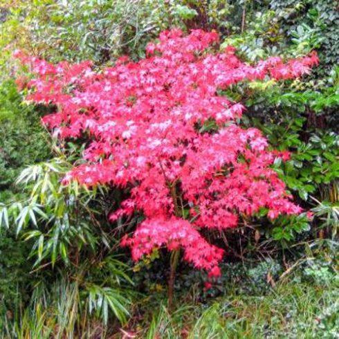Acer palmatum - Ujjas juhar - 5db mag/csomag