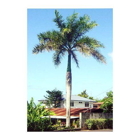 Roystonea regia - Kubai királypálma - 5db mag/csomag