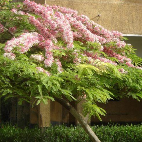 Cassia javanica subsp. nodosa - 5db mag/csomag