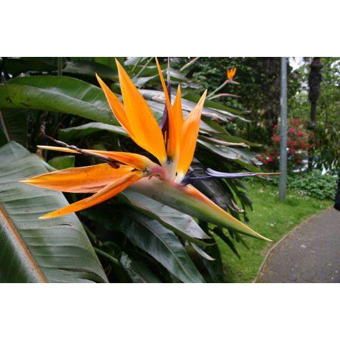 Strelitzia reginae - Narancs papagájvirág - 5db mag/csomag