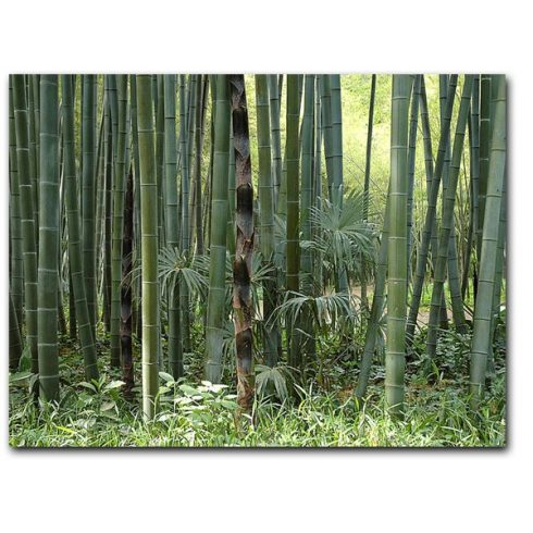 Phyllostachys pubescens - Moso bambusz - 5db mag/csomag