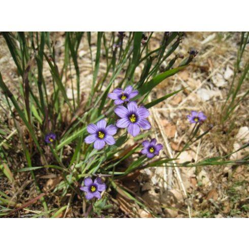 Sisyrinchium bellum – Kék szemű fű - 5db mag/csomag