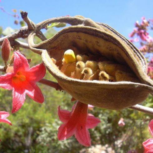 Brachychiton bidwillii - Törpe ausztrálpalackfa - 5db mag/csomag