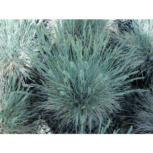 Festuca coxii - Kék csenkesz - 5db mag/csomag