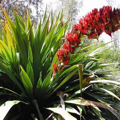 Doryanthes palmeri - Óriás lándzsaliliom - 5db mag/csomag