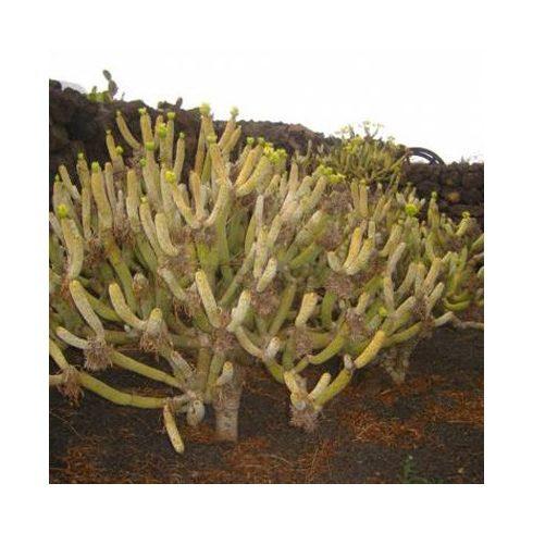 Kleinia neriifolia - 5db mag/csomag