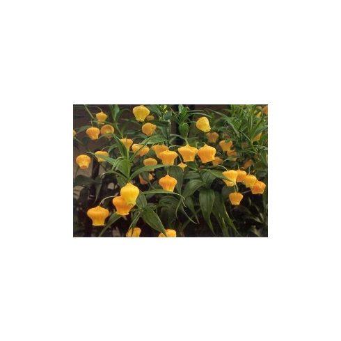 Sandersonia aurantiaca - Lampionliliom - 5db mag/csomag