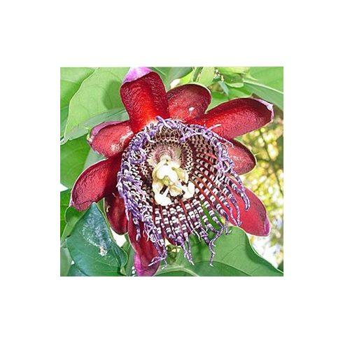 Passiflora quadrangularis - Óriás golgotavirág - 5db mag/csomag