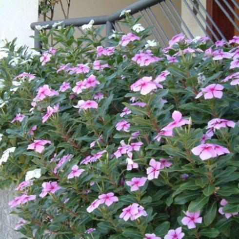 Catharanthus roseus - Rózsameténg - 5db mag/csomag
