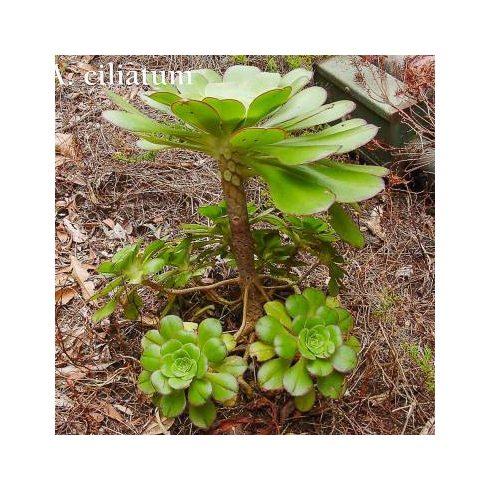 Aeonium ciliatum - 5db mag/csomag