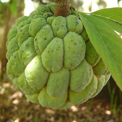 Annona squamosa - Gyömbéralma - 5db mag/csomag