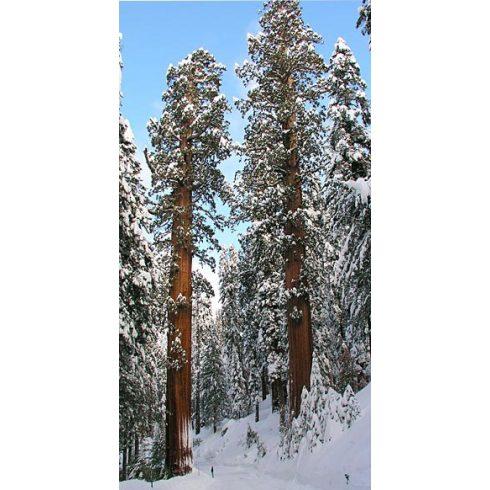 Sequoiadendron giganteum - Óriás mamutfenyő - 5db mag/csomag