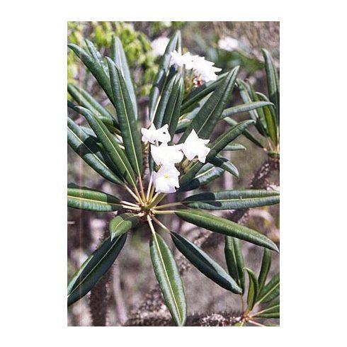 Pachypodium lamerei var. ramosum - 5db mag/csomag