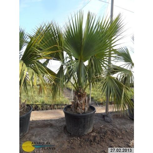 Sabal minor - Törpe palmetto - 5db mag/csomag