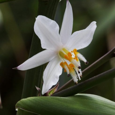 Arthropodium cirrhatum - Új-Zélandi-liliom - 5db mag/csomag