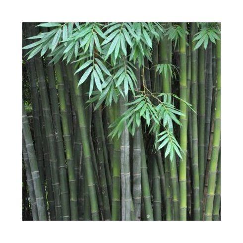 Dendrocalamus latiflorus - Tajvani óriás bambusz - 5db mag/csomag