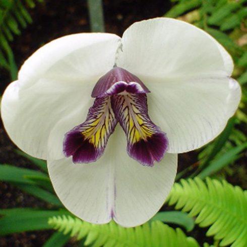 Diplarrena latifolia - 5db mag/csomag