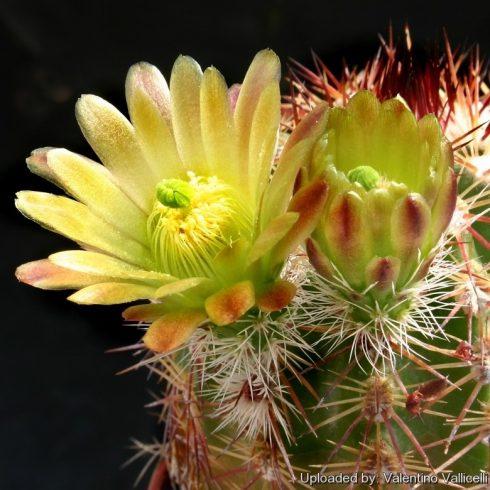 Echinocereus chloranthus - Zöld virágú fáklyakaktusz - 5db mg/csomag