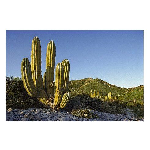 Pachycereus pringlei - Mexikói óriáskaktusz - 5db mag/csomag
