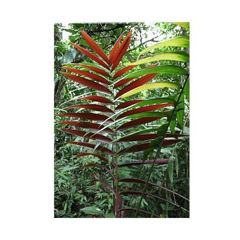 Welfia regia - Amargo pálma - 5db mag/csomag