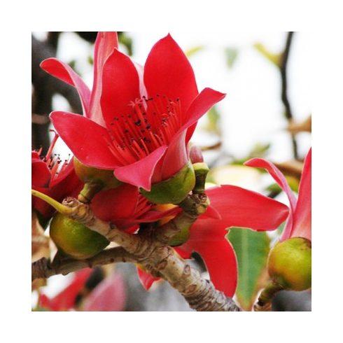 Bombax ceiba - Vörös selymesgyapotfa - 5db mag/csomag