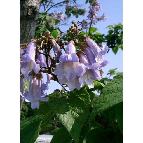 Paulownia tomentosa - Császárfa - 5db mag/csomag