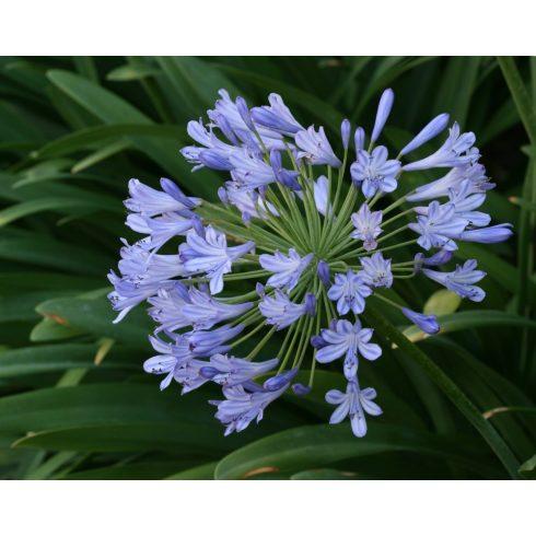 Agapanthus praecox BLUE - Korai kék szerelemvirág - 5db mag/csomag