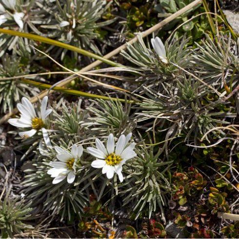 Celmisia argentea - Ezüstös hegyi százszorszép - 5db mag/csomag