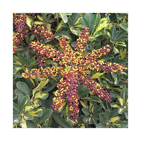 Schefflera arboricola - Törpe esernyőfa - 5db mag/csomag