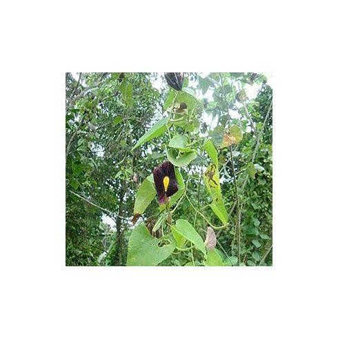 Aristolochia odoratissima - Illatos pipavirág - 5db mag/csomag
