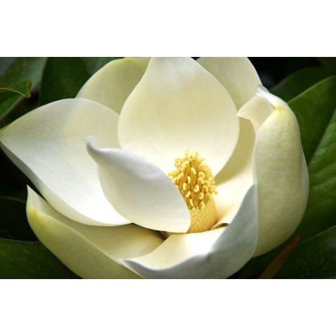 Magnolia grandiflora - Nagyvirágú liliomfa - 5db mag/csomag
