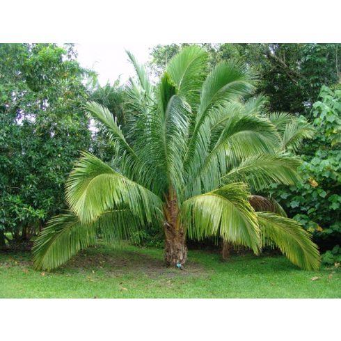 Beccariophoenix madagascariensis - Manarano pálma - 5db mag/csomag